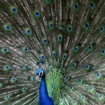 מקור: http://www.stockazoo.com/free-stock-photos/peacock-royalty-free